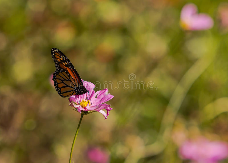 Monarch Butterfly. On Pink Wildflower royalty free stock image