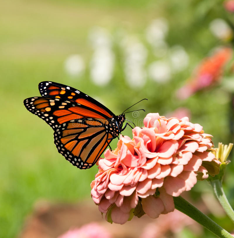 Monarch butterfly on pink Zinnia royalty free stock photos