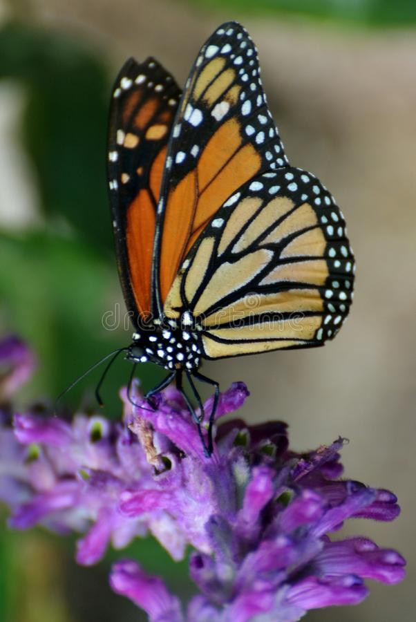 Monarch Butterfly. Pollinating a purple flower royalty free stock image