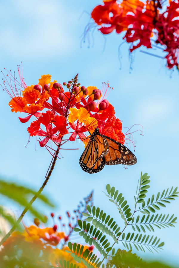 Monarch Butterfly on a Pride of Barbados Flower. Taken in Houston Texas near the Cockrell Butterfly Center stock image
