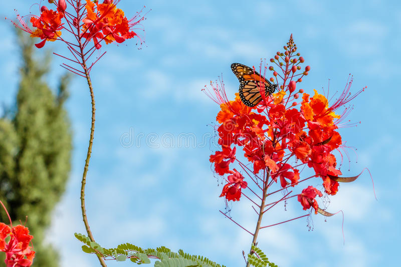 Monarch Butterfly on a Pride of Barbados Flower. Taken in Houston Texas near the Cockrell Butterfly Center royalty free stock photo