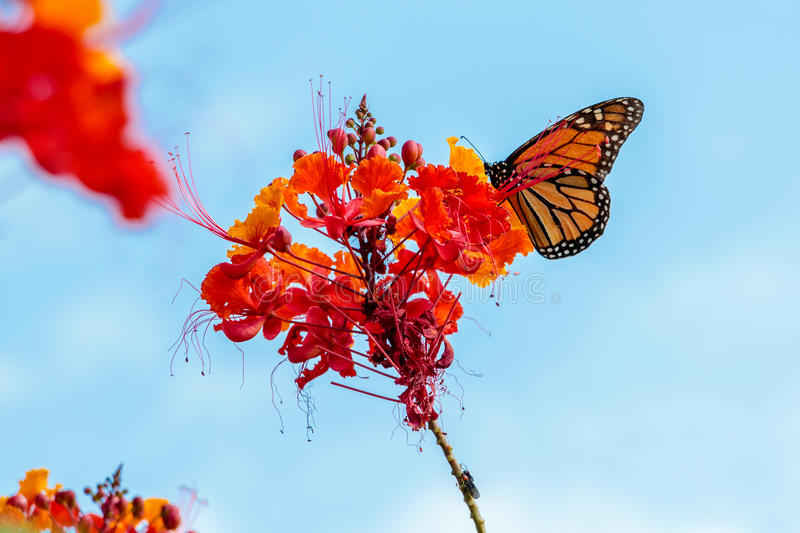 Monarch Butterfly on a Pride of Barbados Flower. Taken in Houston Texas near the Cockrell Butterfly Center royalty free stock images