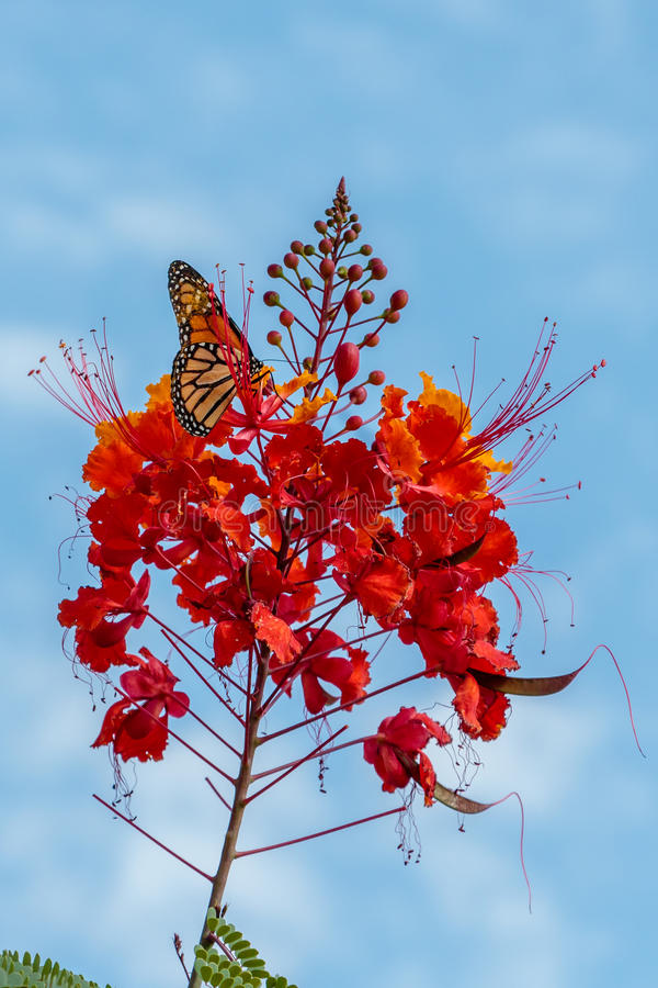 Monarch Butterfly on a Pride of Barbados Flower. Taken in Houston Texas near the Cockrell Butterfly Center stock images