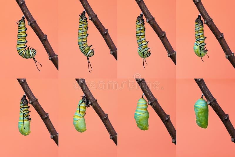 Monarch butterfly metamorphosis from caterpillar to chrysalis. Monarch butterfly pupation, metamorphosis from caterpillar to chrysalis royalty free stock photo