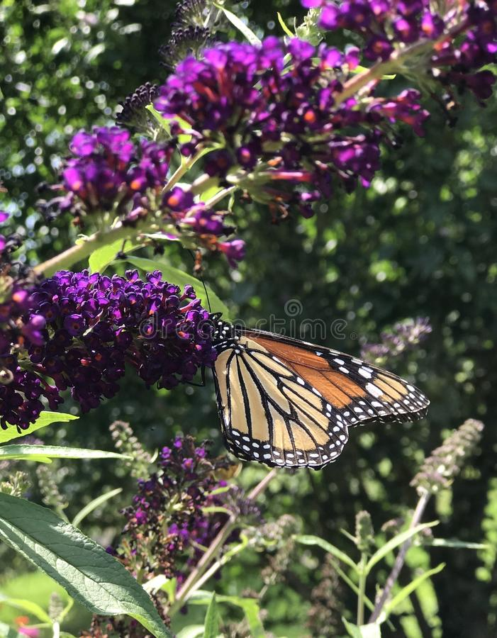 Monarch butterfly on purple bloom. Monarch butterfly feeding from purple butterfly bush on a sunny day in Eastern Pennsylvania countryside stock photography