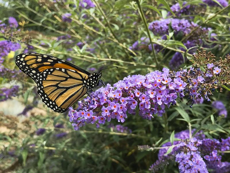 Monarch Butterfly on Purple Butterfly Bush. The butterfly bush, or Buddleja, is a favorite shrub to be cultivated, as in this purple variety, because of it`s stock photo