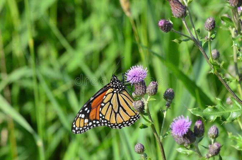 Monarch Butterfly on Purple Canada Thistle. In Ontario, Canada. Summer 2018 royalty free stock photo