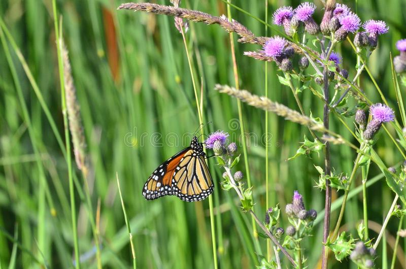 Monarch Butterfly on Purple Canada Thistle. In Ontario, Canada. Summer 2018 stock photos