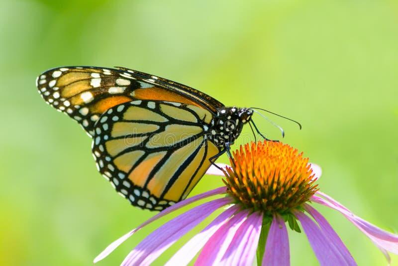 Monarch Butterfly on Purple Coneflower on plain green stock image