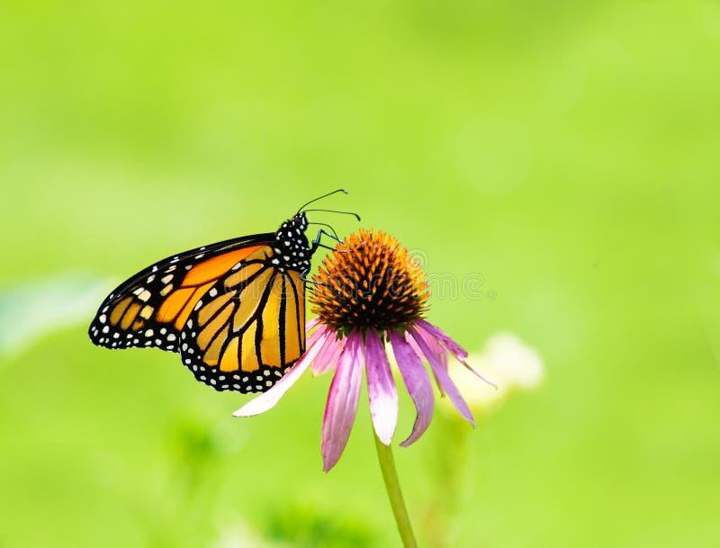 Monarch Butterfly on Purple Coneflower on plain green royalty free stock photo