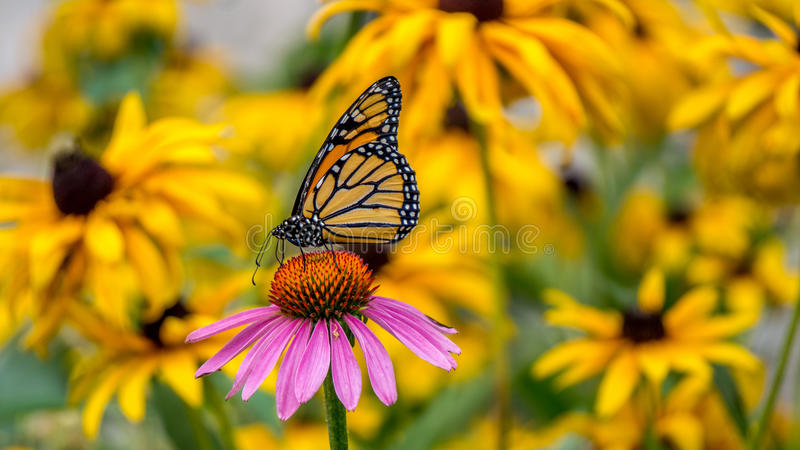A Monarch Butterfly on a purple Echinacea cone flower royalty free stock photo