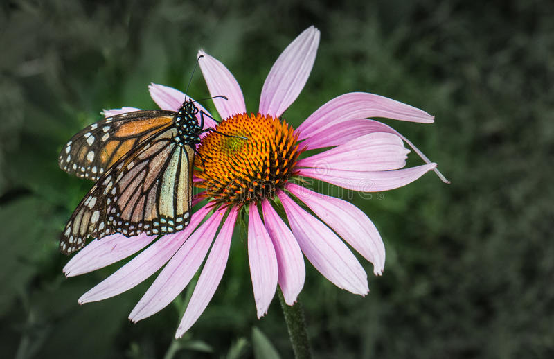 Monarch butterfly on a purple flower stock images