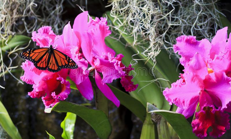 Monarch Butterfly on Purple Orchids royalty free stock image