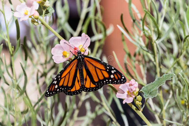 Monarch butterfly on branch with small pink flowers. stock photography