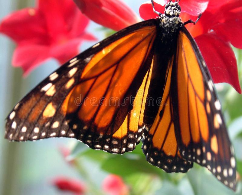 Monarch butterfly on red flower stock photo