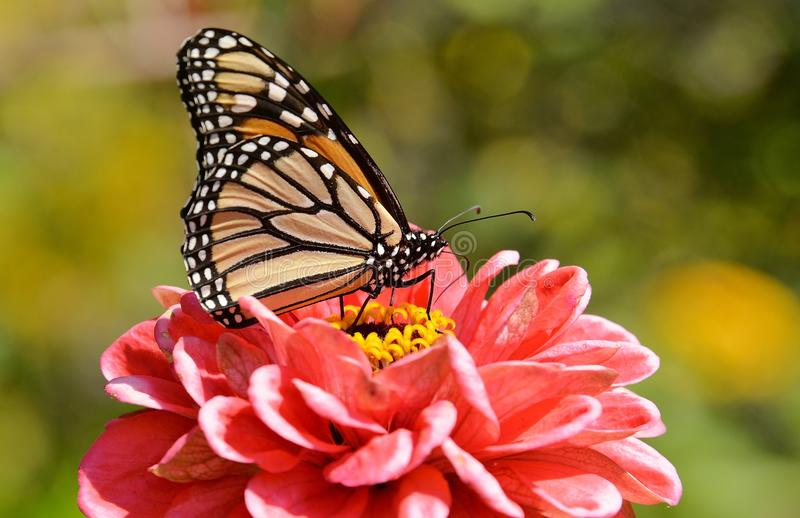 Monarch butterfly on red zinnia Colbourne Lodge garden High Park royalty free stock photo