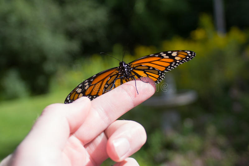 Monarch Butterfly Release stock image