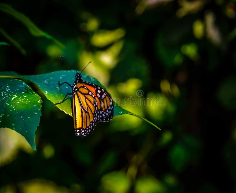 Monarch Butterfly at rest on linden leaf. stock photography