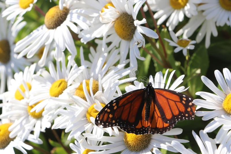 Monarch Butterfly Resting On Daisy Flowers Stock Photo