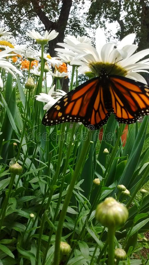 Monarch butterfly resting on daisys. Monarch butterfly resting on daisy waiting for wings to dry to take first flight stock image