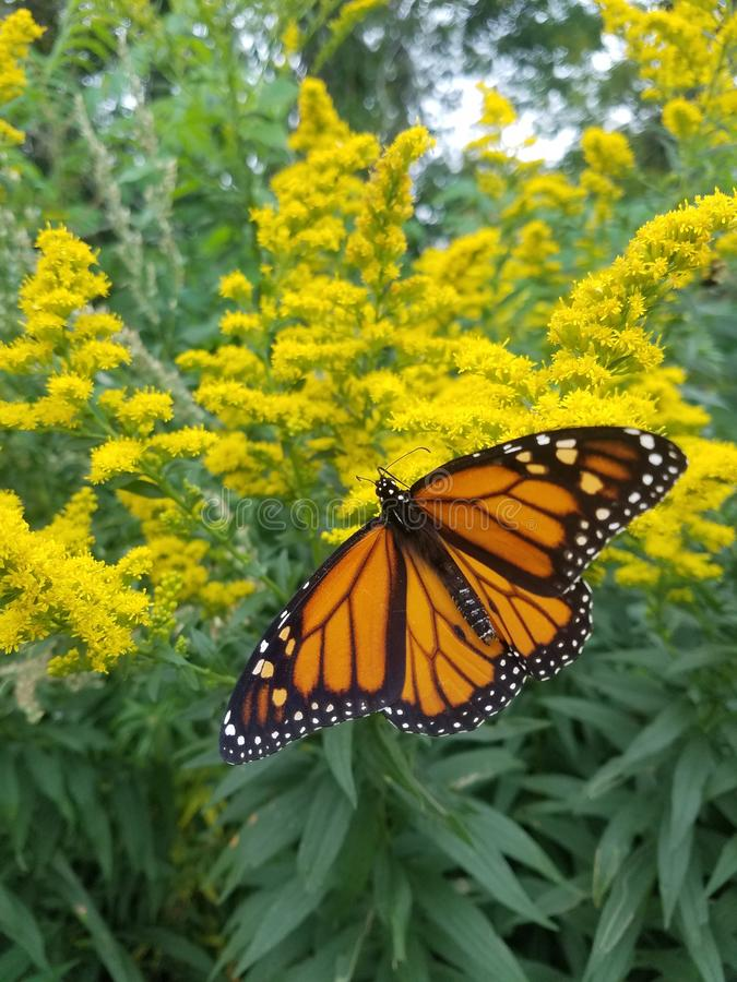Monarch Butterfly resting on Goldenrod. Monarch butterfly rests on goldenrod blooms for a striking orange and yellow palette. Photo was taken on the Maine coast stock photo