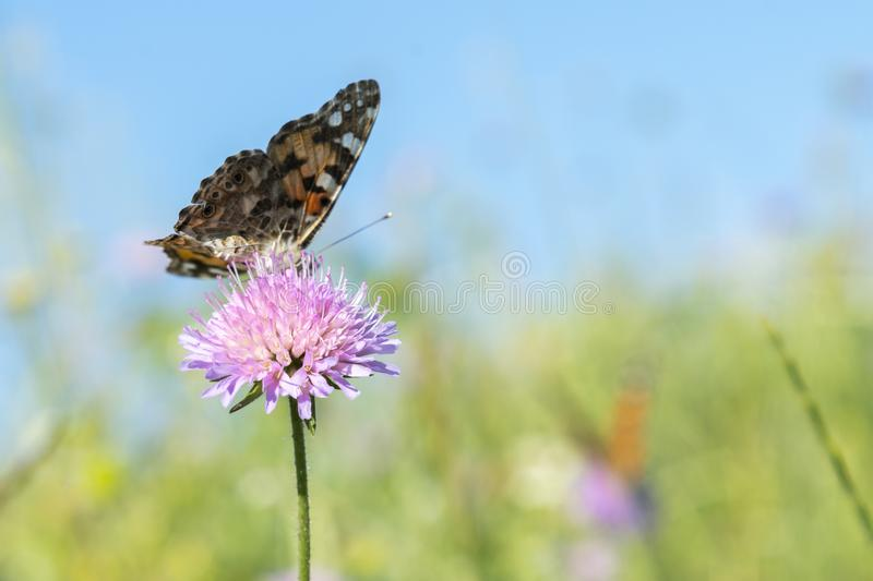 Monarch butterfly resting among thistles. Butterfly on a flower in a field. Butterfly On Grass Field With Warm Light.  stock photo