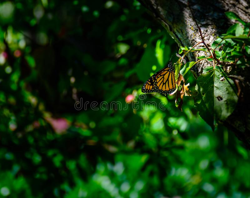 Monarch butterfly resting in woodland park. stock photography