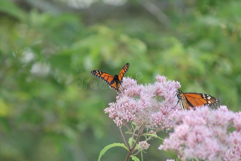 Monarch Butterfly`s Danaus plexippus on Purple Flower. Monarch Butterfly`s 2 on pretty purple flower in a small park area. Kingston, Ontario stock photography