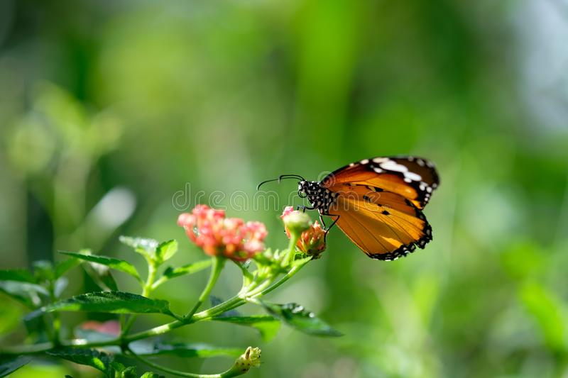 Monarch butterfly seeking nectar on a cosmos flower. With copy space, beautiful picture stock photo