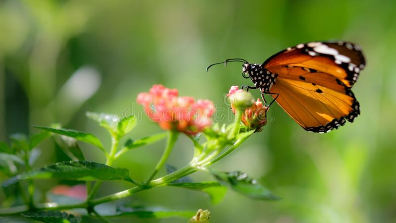 Monarch butterfly seeking nectar on a cosmos flower. With copy space, beautiful picture royalty free stock images