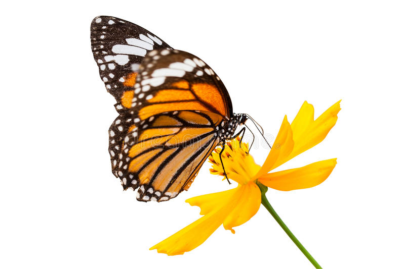Monarch butterfly seeking nectar on a flower. On white background using path stock photography