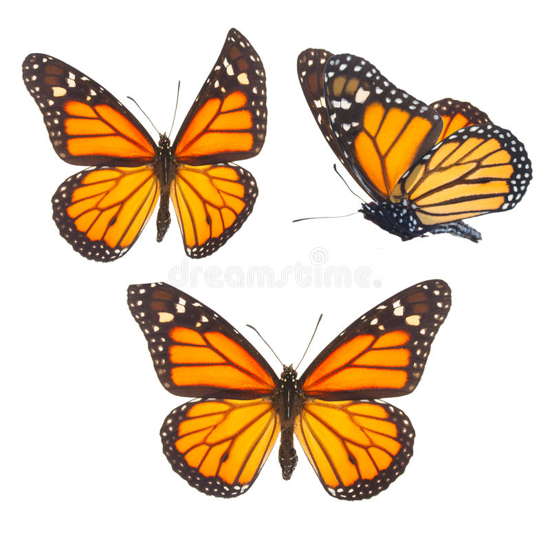 Monarch butterfly. Set of orange monarch butterflies isolated on white background royalty free stock image