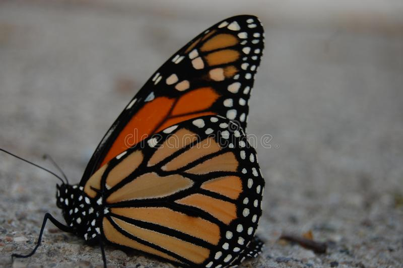 Monarch Butterfly on the Sidewalk royalty free stock image