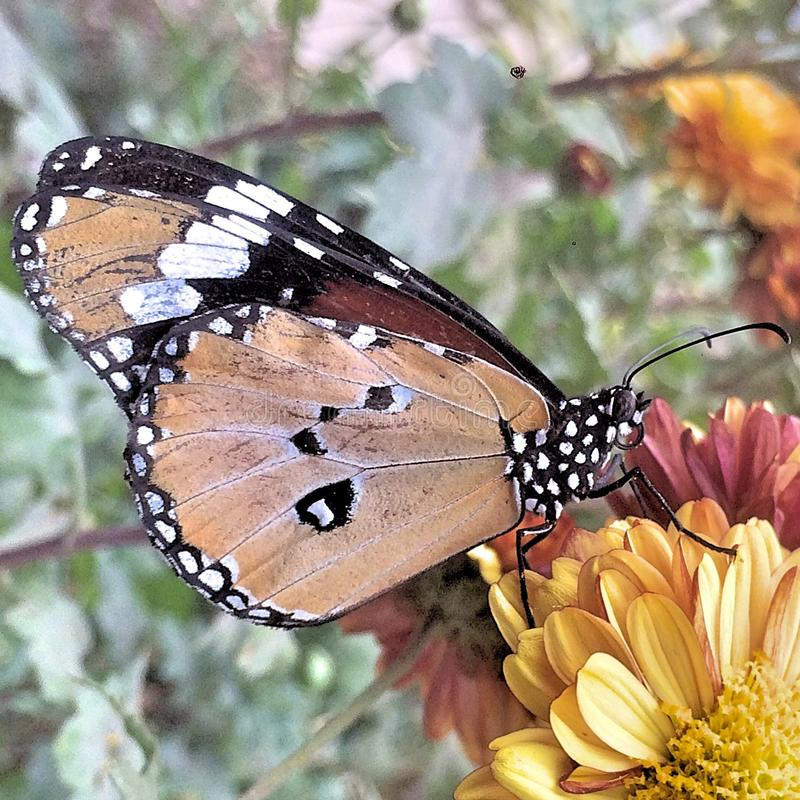 A monarch butterfly. A monarch butterfly sitting on a flower royalty free stock photos