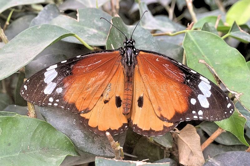 A monarch butterfly. A monarch butterfly sitting on a flower stock image