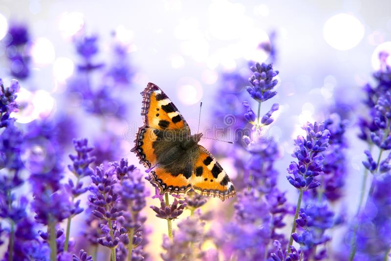 Monarch butterfly sitting on violet lavender. Orange butterfly sitting on violet lavender with blurred background stock image