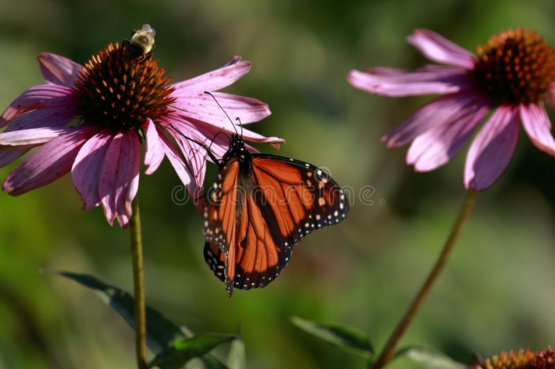 Butterfly and Bee sitting on a flower royalty free stock image