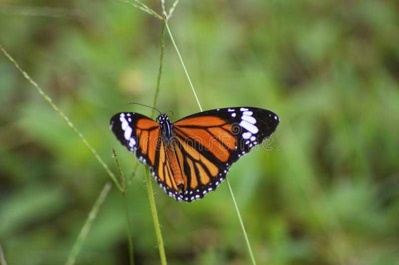Monarch Butterfly Spreading. Its wings searching for nectar royalty free stock photos
