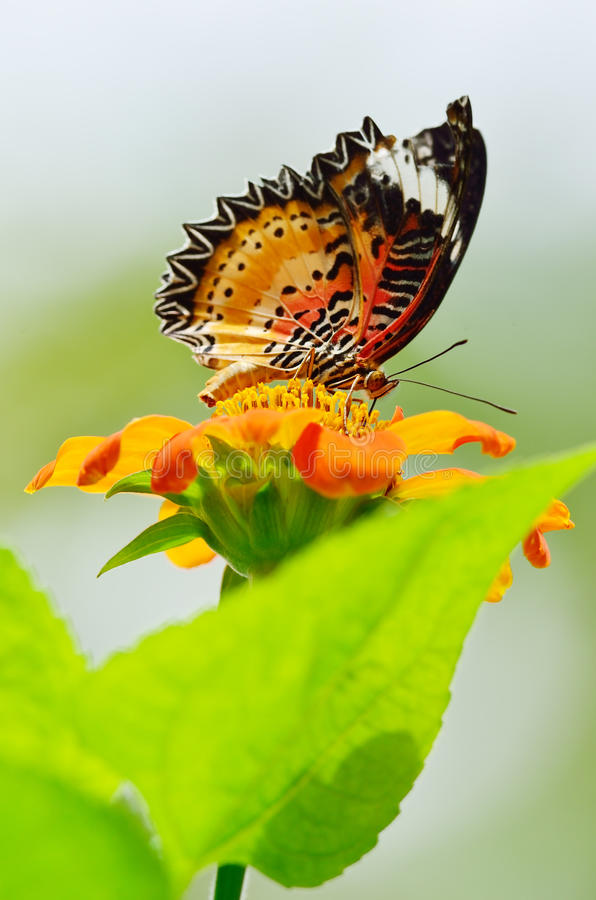 Download Monarch Butterfly Sucking Nectar Stock Image - Image: 25938821