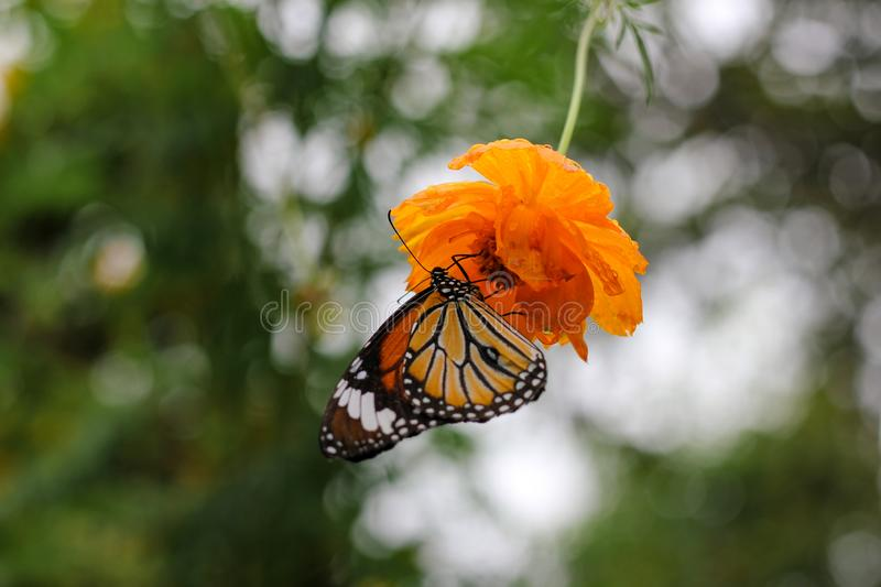 Monarch butterfly sucking nectar from cosmos arkivbilder