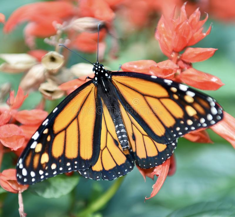 Monarch Butterfly. This is a Summer picture of a Monarch Butterfly at the Peck Farm Butterfly House located in Geneva, Illinois in Kane County. This female royalty free stock photography