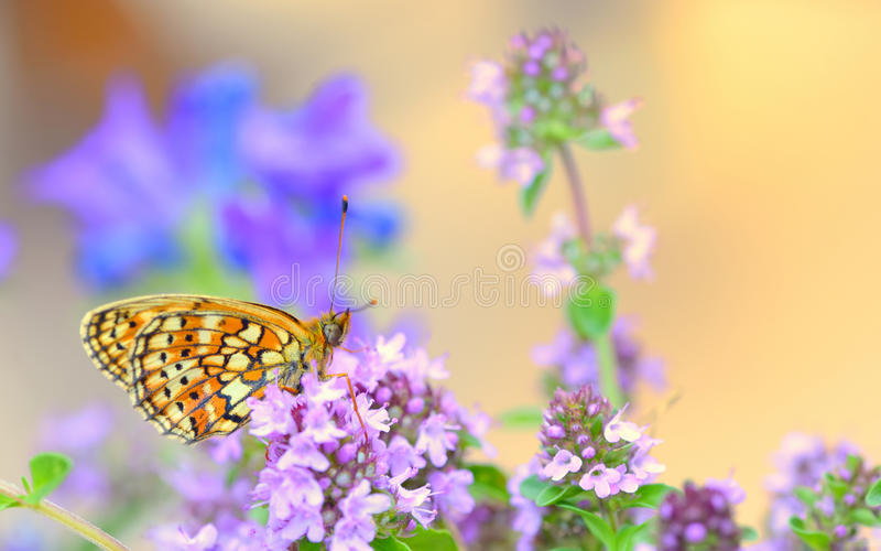 Monarch Butterfly. In summer time royalty free stock image