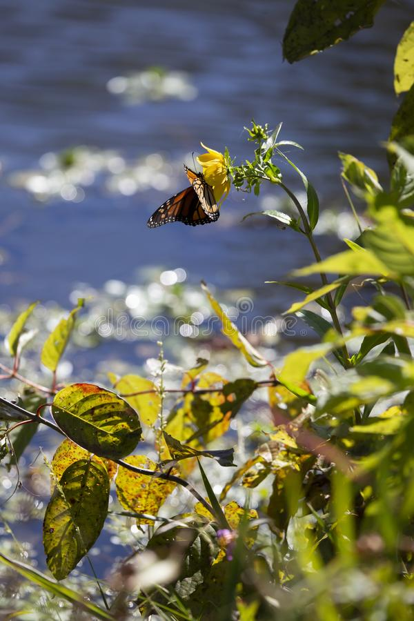 Monarch butterfly on a sunflower stock image