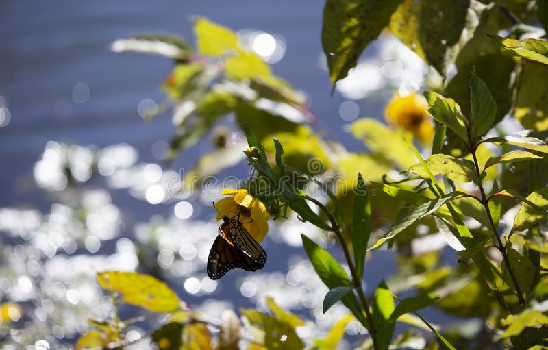 Monarch butterfly on a sunflower stock images