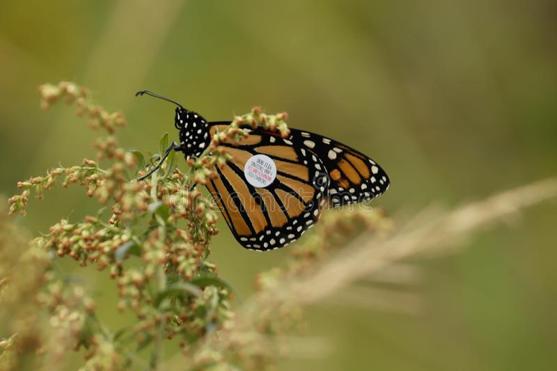 A Monarch butterfly with a tracking tag on a plant feeding. stock photos