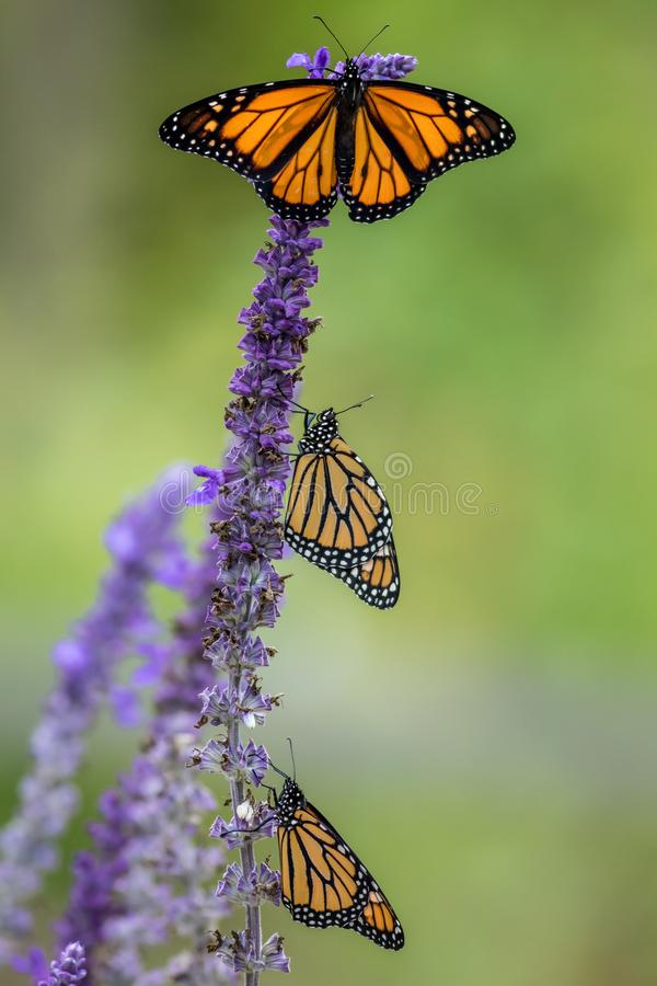 Monarch Butterfly trio on blue salvia flowers, green background. Monarch Butterfly, Danaus Plexippus, on blue salvia flower. Natural beauty royalty free stock photo