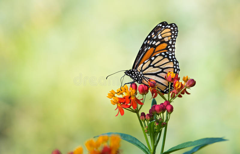 Monarch butterfly on tropical milkweed flowers stock image