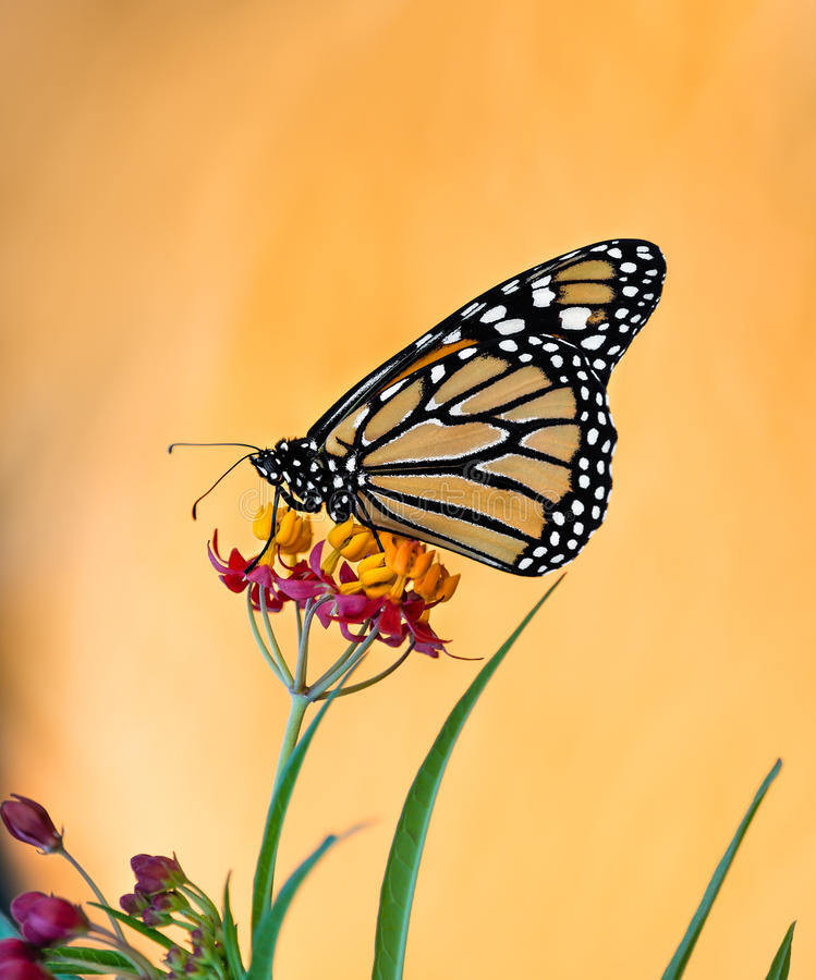 Monarch butterfly on tropical milkweed flowers royalty free stock images