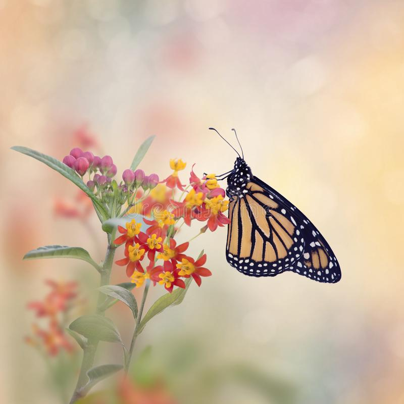Monarch Butterfly on Tropical Milkweed plant. stock photography