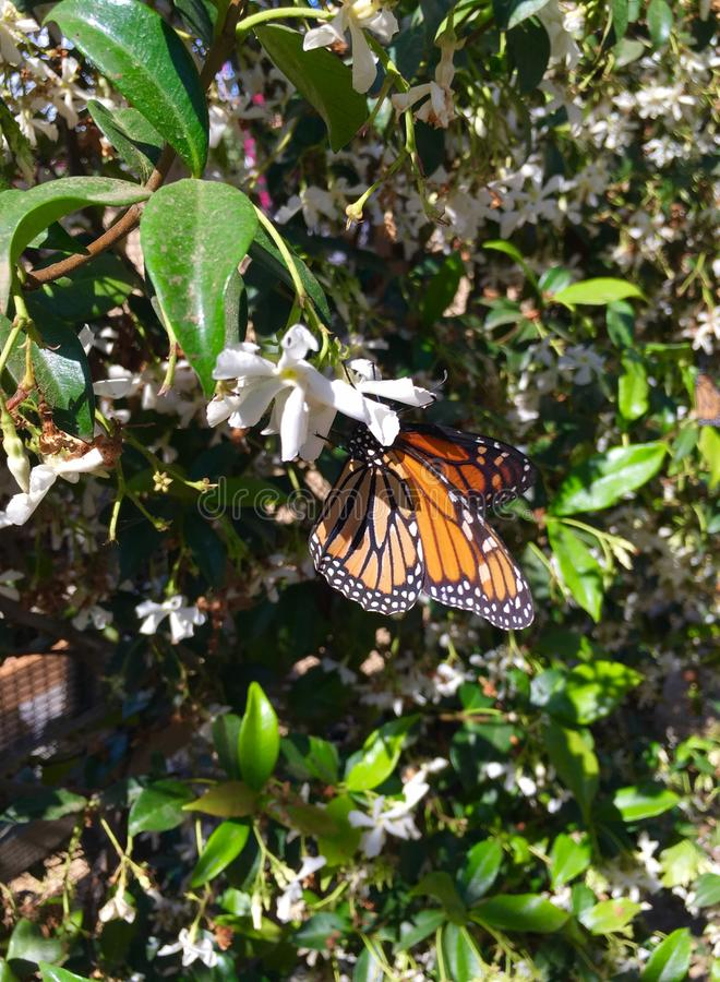 Monarch Butterfly on White Blossom royalty free stock photo